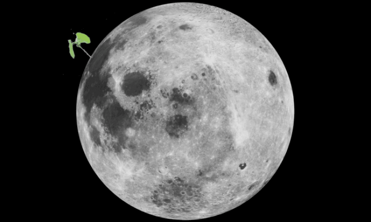What are the Chinese doing with cotton on the Moon?